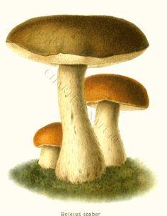 'Boletus Scaber' restored antique mushroom illustration - via Charting Nature