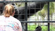 Even gorillas can act like kids