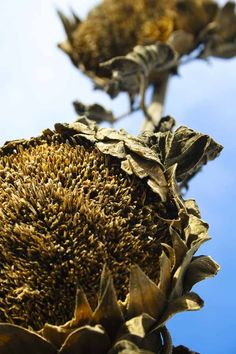 DrySunflowers. Dried Sunflowers, Sunflower Wallpaper, Faded Glory, Garden Ideas, Sunshine, Photography, Photograph, Photo Shoot, Landscaping Ideas