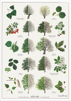 Trees poster - Trees posters posters with trees. Illustrated by Susanne Weitemeyer. Size: 42 x cm - Botanical Drawings, Botanical Prints, Botanical Gardens, Arte Naturalista, Tree Leaf Identification, Landscape Design, Garden Design, Poster Shop, Poster Poster