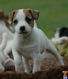 Top Quality Jack Russell Terrier Female Puppy- BOTH Parents Show Champions