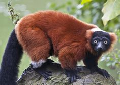 Red Ruffed Lemur   Red ruffed lemur