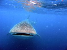 Biggest Dream to dive with whale-sharks! But might come true when I go diving at Mafia Island, Tanzania this summer!?