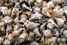 Seashell Background - Background of assorted seashells.