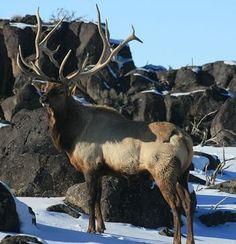 Bull elk during winter Moose Deer, Big Deer, Deer Antlers, Most Beautiful Animals, Beautiful Creatures, Elk Pictures, Bull Elk, Elks, Deer Family