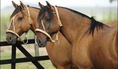 Cavalos crioulo.