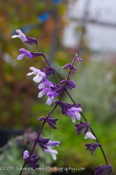 Salvia 'Phyllis' Fancy'