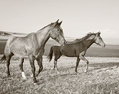 Black and White Western Horses Photograph by ApplesAndOats