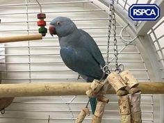 Blue, Parakeet Parrot, 4 Years, Rochdale Animal Centre Blue Parakeet, Rochdale, Pet Search, Sadie, 4 Years, Parrot, Centre, Wildlife, Bird