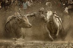 """In a photo titled """"Outburst,"""" Fauzan Maududdin shows just how dirty a traditional bull-race at the Pacu Jawi Festival in Indonesia can get. The gritty photo is one of the many images submitted for judging in the National Geographic Traveler Photo Contest. Minangkabau, Mundo Animal, National Geographic Photos, Photo Contest, Travel Photos, Travel Photography, Wildlife Photography, Photo Galleries, Moose Art"""