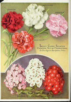 Carnation and Phlox - Miss Ella V. Baines, The Woman Florist, Springfield, Ohio : The Wonderful New Rose Hoosier Beauty, 1918