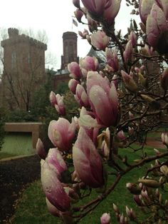 Saucer magnolia blooms in the Haupt Garden, April 2015