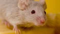 Truc anti-souris pour éloigner les souris de votre maison, de votre terrasse et de votre jardin. Découvrez de bons répulsif contre les souris.