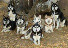 I would like this many huskies to keep me company when I am old.
