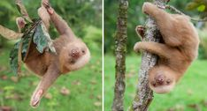 There's A Sloth Institute Which Looks After Baby Sloths That Lost Their Moms | Bored Panda