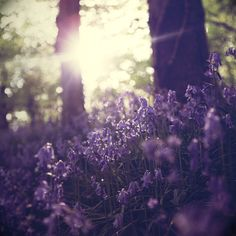 morning light on bluebells