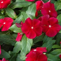 Vinca – Cora® Red : Ymker Greenhouse and Landscaping Periwinkle Plant, Periwinkle Flowers, All Flowers, My Flower, Beautiful Flowers, Summer Garden, Lawn And Garden, Garden Sheds, Wine Red Color