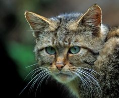 This kitty may be wild but is oh so beautiful...