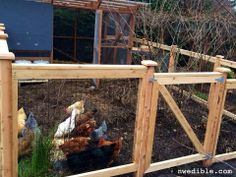 Composting Chicken Yard | NW Edible