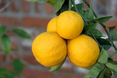 The Meyer Lemon Tree is a fun tree that always seems to be blooming or fruiting. Many Meyer Lemon Trees are blooming now, bringing beautiful flowers and a wonderfully fresh citrus scent to many homes. Garden Shrubs, Garden Trees, Garden Plants, Fast Growing Trees, Growing Grapes, Citrus Trees, Fruit Trees, Meyer Lemon Tree Care, Growing Vegetables From Seeds