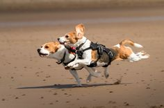How fast can a Beagle run? Click the picture to read