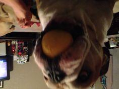 Boudreaux eating an apple... He loves his fruit.