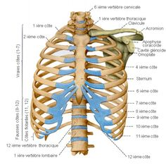Anatomy of the thoracic cage, the rib cage. Atlas Anatomy, Thoracic Cavity, Medical Drawings, Anatomy Bones, Skeleton Anatomy, Human Body Art, Heart And Lungs, Anatomy Tutorial, Anatomy And Physiology