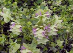 Bristol Cross Oregano - Origanum ' Bristol Cross' Uses: Culinary Duration: Perennial (hardy in zones 6-10) Striking ornamental variety with a mild oregano flavour and aroma. Description from pinterest.com. I searched for this on bing.com/images