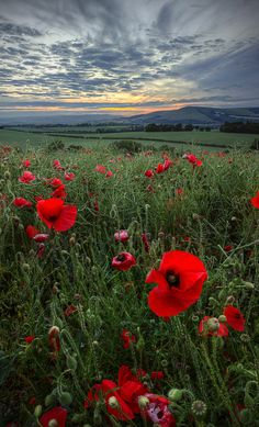 Fields of red poppies...