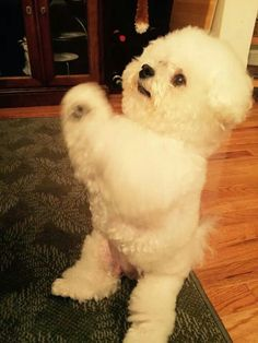 this looks like my late muffy bichon who passed at the age of 17 she was a cutie pie Little Puppies, Little Dogs, Cute Puppies, Cute Dogs, Bichon Dog, Baby Animals, Cute Animals, Shih Tzu, Dog Life