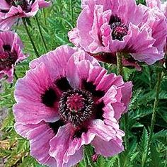 Oriental Poppy Manhattan - An Oriental Poppy with large flowers - I just got two of these at the NW Flower & Garden Show 2013