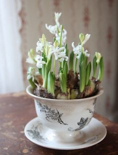 Signs of Spring ~ Hyacinth Bulbs beginning to Flower in a Vintage Bowl with Saucer