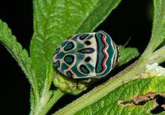 Picasso bug, Sphaerocoris annulus, from Mlawula Nature Reserve, Swaziland.