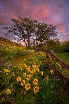 Columbia Hills, Washington, Wildflower, USA, photo by Marc Adamus.