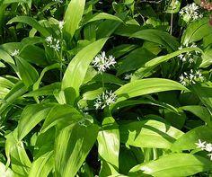 "Allium ursinum, aka ""ramps"" - eitable ground covering that tastes similar to garlic, leek"