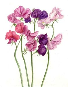 more sweet pea art Sweet Pea Tattoo, Botanical Drawings, Botanical Illustration, Botanical Flowers, Botanical Prints, Watercolor Flowers, Watercolor Paintings, Sweet Pea Flowers, Vintage Flowers