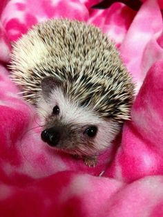 ♡☆ Such a Lovely Hedgehog ☆♡