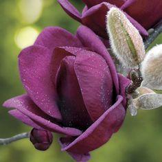 1000 images about magnolia on pinterest magnolias. Black Bedroom Furniture Sets. Home Design Ideas