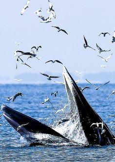 ♥ Bryde's Whale- Too Ratana-u-bol