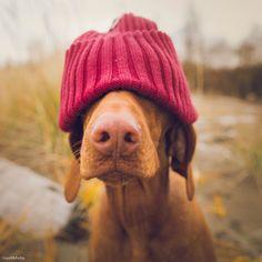Index - Mindeközben - Egy magyar vizsla az Instagram legmenőbb kutyája