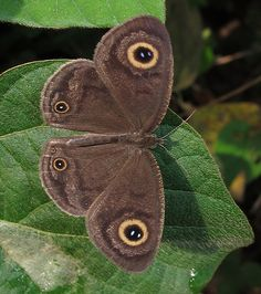 Common Ringlet - Ypthima doleta | Kakum National Park, Ghana… | Flickr