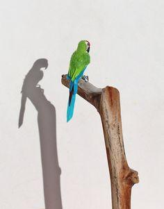 OOAK Realistic Green Macaw Dollhouse Miniature 1:12 scale handmade by Katie Doka