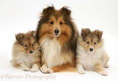 Shetland Sheepdog (Sheltie) and pups