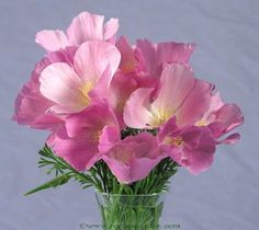 Did you know CA poppies come in pink?  I really chose the wrong season.