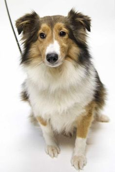Meet Prissy, a Petfinder adoptable Shetland Sheepdog Sheltie Dog | Saint Louis Park, MN | Thank you for stopping by to see me!  Come and meet me at the following adoption events or apply...