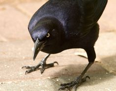 Great-tailed Grackle (Quiscalus mexicanus) - photo by Melody Lytle