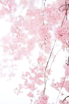 Hintergrundbilder Iphone Pastell – ℓυηα мι αηgєℓ ♡ — plumu: sakura – Top Of The World Flower Background Wallpaper, Flower Backgrounds, Wallpaper Backgrounds, Iphone Wallpaper, Cherry Blossom Wallpaper Iphone, Trendy Wallpaper, Pink Wallpaper, Cute Wallpapers, Fond Design