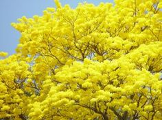 More guayacan trees!! You have to enjoy them while you can! The blossoms fall quickly and then form a yellow carpet on the ground.