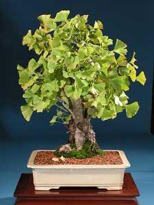 Bonsai - Ginkgo, Árbol de los escudos, Árbol de las pagodas, Árbol de oro, Gingo
