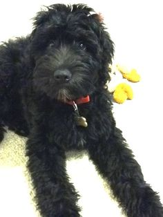 baby whoodle..wheaten terrier/standard poodle I think this is it! Lulu is a whoodle....maybe :/